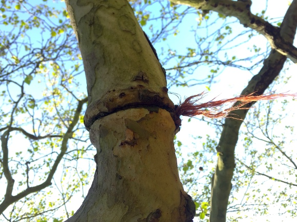 Plane tree branch constrained with string